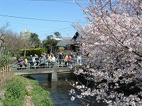 【画像】源兵衛川の桜