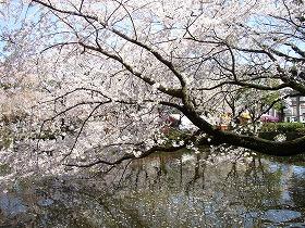 【画像】三嶋大社・神池の満開の桜