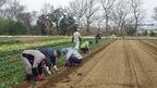【参加者募集】2/22援農プログラム・馬鈴薯(じゃがいも)の植付け