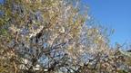 11/30 三島梅花藻の里の「ヒマラヤザクラ」が五分咲きです!