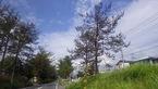 三島市川原ケ谷・国道1号沿い・旧東海道松並木の「葉枯病」とみられる症状について