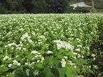 9/26 「三島そば」の花が見頃を迎えました