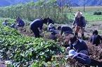 11/12 松毛川「千年の森」づくり・サツマイモ収穫体験を開催
