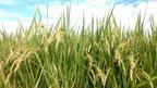 【参加者募集・日程変更】10/28 「梅花藻米」稲刈り体験