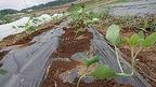 【農業だより】枝豆がぐんぐん成長中!