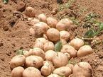 【参加者募集】3/9 箱根西麓三島野菜・馬鈴薯の植え付け体験
