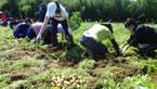 【参加者募集】8/3ジャガイモ収穫体験