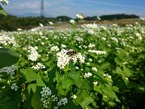 【参加者募集・日時変更】11/9 三島そば収穫体験