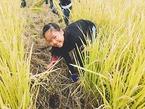 【活動報告】10/26「三島米稲刈り体験」を開催