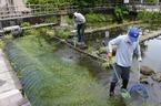 「三島梅花藻の里」のミシマバイカモが見頃です