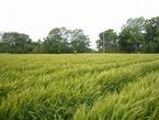 小麦の収穫間近!とっても順調に生育してます