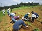 箱根西麓:馬鈴薯収穫