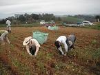 三島そば収穫作業