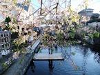 三島梅花藻の里 冬と春の饗宴