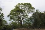 竹の伐採作業により松毛川の「ご神木」あらわる