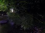 源兵衛川のゲンジボタルが見頃です!