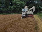 御園の畑で小麦を収穫