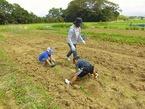 御園で馬鈴薯収穫体験
